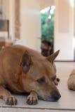 Hunden är satt Fotografering för Bildbyråer