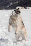 hunden äter snow Royaltyfria Foton