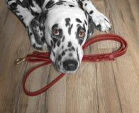 Hunden önskar att gå och vänta nära koppeln royaltyfria foton