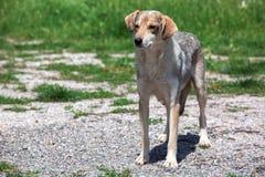 Hunden av en fnuren på gatan Royaltyfri Bild