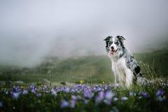 Hunden Border collie sitter på en bakgrund av att blomma fält royaltyfri foto