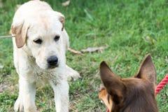 Hunden brummar på valpen som ser förskräckt Arkivbild