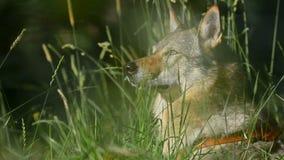 Hunden döljer i hög gräscloseup stock video