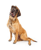 hunden dreglar den vippade på engelska head mastiffen royaltyfri bild