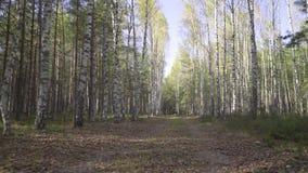 Hunden eller ett litet löst djur promenerar vägen i skogen, första-person sikt Höstväg i en björkdunge med stupat arkivfilmer