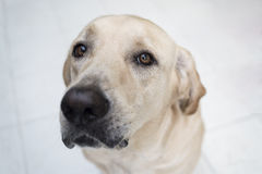 hunden eyes s Arkivfoto