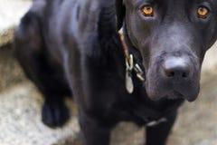 hunden eyes valpen royaltyfria bilder