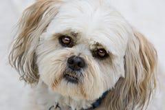 hunden eyes valpshihtzu Royaltyfria Bilder