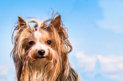 Hunden föder upp den bäveryorkshire terriern närbildstående mot en blå himmel och moln flicka royaltyfri foto