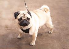 Hunden föder upp en mops Hem- favorit arkivfoton