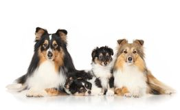 Hunden föder upp sheltie royaltyfria foton