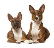 Hunden för basenji två isoleras på vit bakgrund Arkivbilder