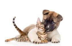 Hunden för den Akita inuvalpen kramar den bengal kattungen Isolerat på vit Royaltyfria Bilder