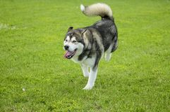 Hunden för den alaskabo malamuten kör i den roade ängen fotografering för bildbyråer