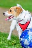 Hunden för den stålarrussell terriern parkerar in att se upp klar att spela med ägaren royaltyfria foton