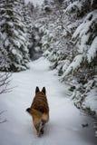 Hunden för den tyska herden som gör den nya banan skuggar ner Arkivfoto