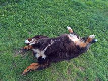 Hunden för det Bernese berget låg ner i gräset Arkivfoton