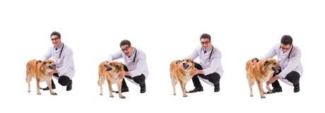 Hunden för golden retriever för veterinärdoktor som den undersökande isoleras på vit royaltyfri bild