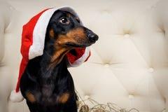 Hunden f?r n?rbildst?endetaxen, svart och solbr?nt, i en r?d hatt f?r jul sitter i en vit f?t?lj isolerat nytt vitt ?r f?r jul be royaltyfri foto