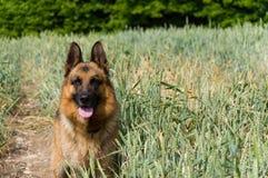 Hunden för tysk herde på gå Royaltyfri Bild