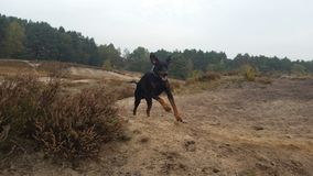 hunden fast Royaltyfria Foton