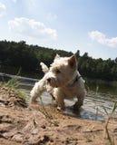 hunden går Arkivbild