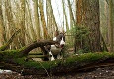 Hunden går i skogen Arkivbilder