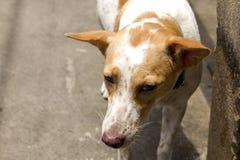 Hunden går på trottoaren arkivbilder