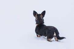 hunden går sniffar snowdrifts som traces övervintrar upp Fotografering för Bildbyråer