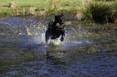 hunden går sticken tillbaka Royaltyfria Foton