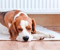 Hunden har en vila nära till ett varmt element royaltyfria foton