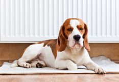 Hunden har en vila nära till ett varmt element Arkivfoto