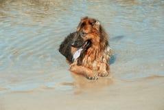 Hunden har inga problem med havet arkivfoton
