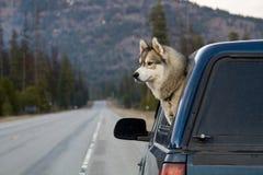 hunden head ut s-fönstret Arkivfoto