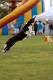 Hunden hoppar för att försöka och fånga frisbeen royaltyfri fotografi