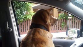 Hunden i bil Fotografering för Bildbyråer