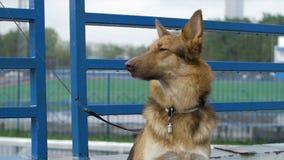 Hunden i byn sitter bundet till en kedja Den bundna hunden sitter på staketet Hund som väntar på hans förlage royaltyfria foton