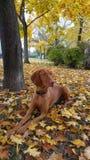 Hunden i den färgrika hösten parkerar royaltyfria bilder