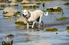 Hunden i vatten med floden vaggar Royaltyfria Bilder