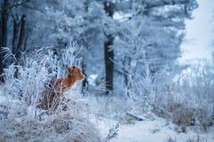 Hunden i vinter på naturen i frosten går med ditt husdjur Kastanjebruna Nova Scotia Duck Tolling Retriever arkivfoto