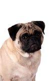 hunden isolerade mops Royaltyfri Bild