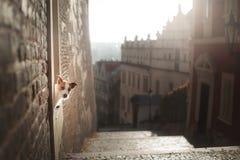Hunden Jack Russell Terrier ser ut Lydigt husdjur i staden fotografering för bildbyråer