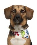 Hunden korsar med en beagle, 2 gammala år Royaltyfri Bild