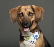 Hunden korsar med en beagle, 2 gammala år Arkivbild
