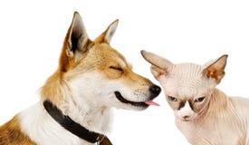 Hunden kysser en kattunge. Arkivfoto
