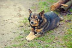 Hunden lägger i gården Arkivfoto
