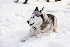 Hunden lägger på snö Royaltyfria Bilder