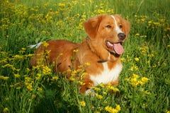 Hunden ligger i ett blommafält Arkivbilder
