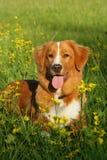 Hunden ligger i ett blommafält Royaltyfri Bild
