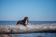 Hunden ligger på en journal fotografering för bildbyråer